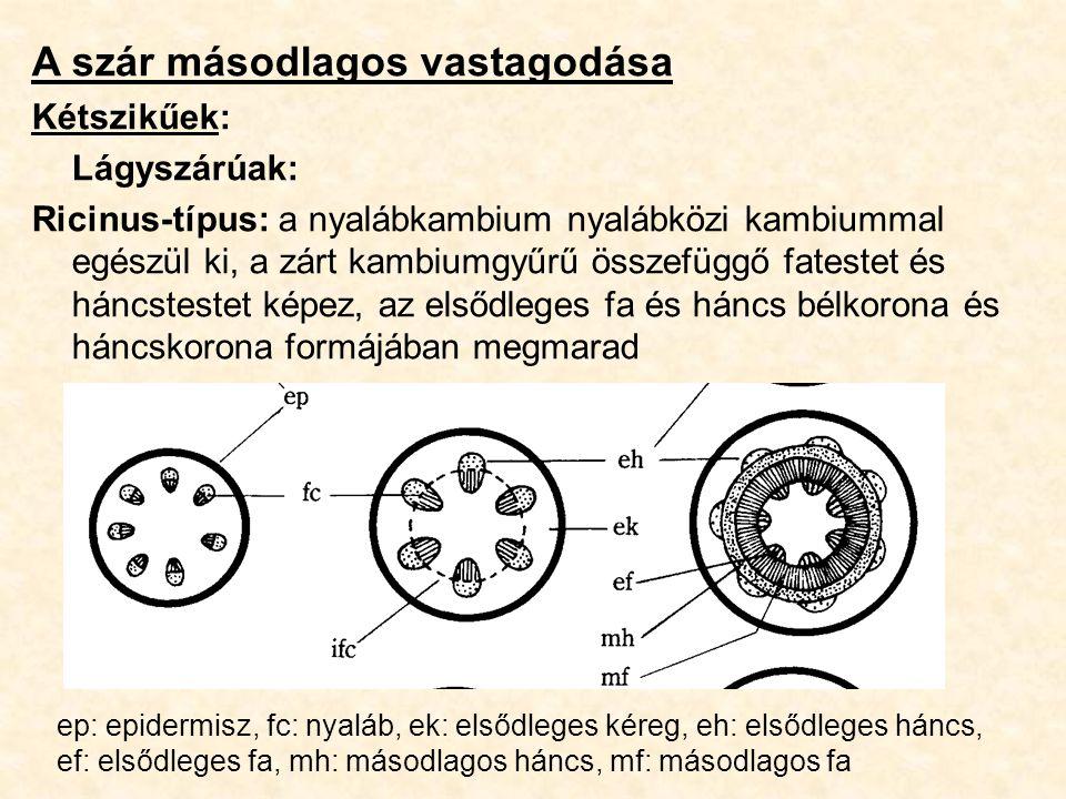 A szár másodlagos vastagodása Kétszikűek: Lágyszárúak: Ricinus-típus: a nyalábkambium nyalábközi kambiummal egészül ki, a zárt kambiumgyűrű összefüggő