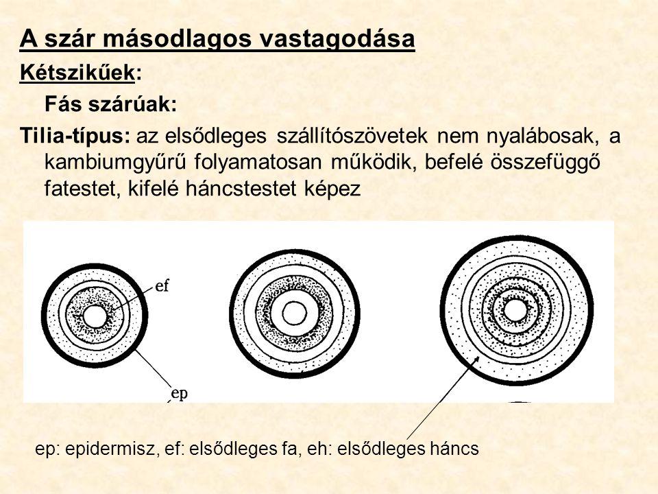 A szár másodlagos vastagodása Kétszikűek: Fás szárúak: Tilia-típus: az elsődleges szállítószövetek nem nyalábosak, a kambiumgyűrű folyamatosan működik