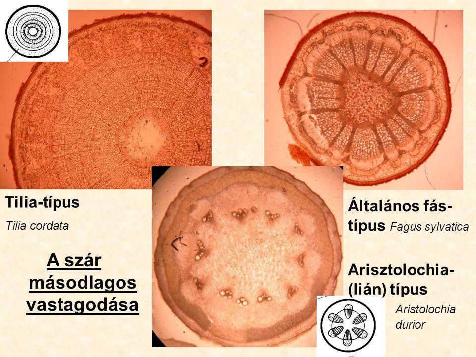 Tilia-típus Tilia cordata A szár másodlagos vastagodása Általános fás- típus Fagus sylvatica Arisztolochia- (lián) típus Aristolochia durior