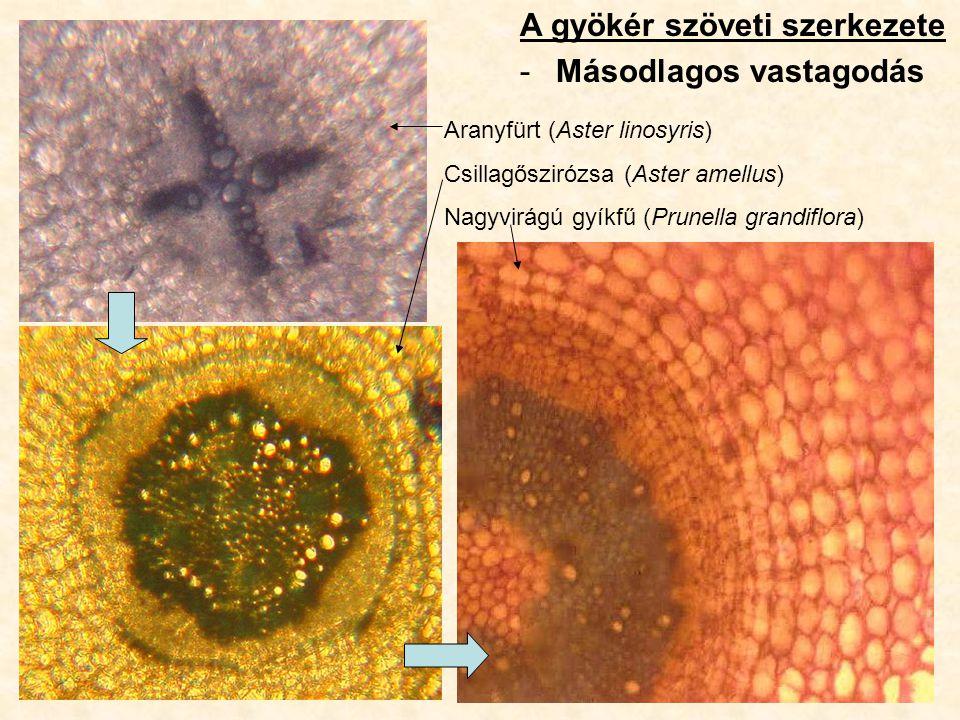 A gyökér szöveti szerkezete -Másodlagos vastagodás Aranyfürt (Aster linosyris) Csillagőszirózsa (Aster amellus) Nagyvirágú gyíkfű (Prunella grandiflor