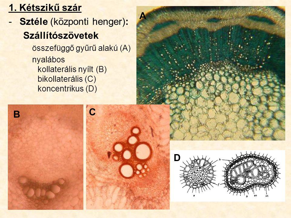 Izolaterális (unifaciális) lomblevél –A levéllemez mindkét oldalát azonos megvilágítás éri, pl.: fűfélék, –a színi és fonáki epidermisz közel azonos, mindkettőn van sztóma, kutikula és viasz –Felépítése: színi epidermisz oszlopos (paliszád) parenchima szivacsos parenchima oszlopos (paliszád) parenchima fonáki epidermisz Búza levélkeresztmetszet