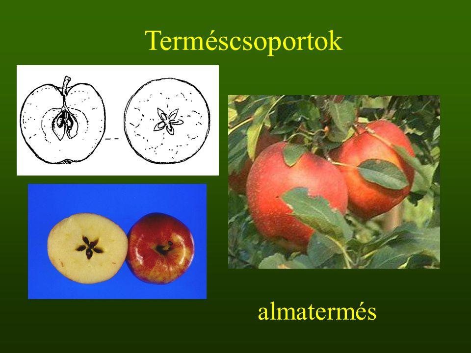 almatermés Terméscsoportok