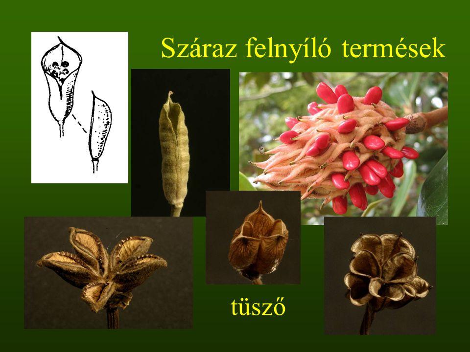tüsző Száraz felnyíló termések