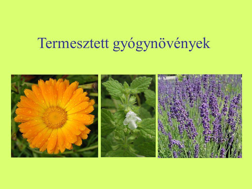 Kerti borágó (Borago officinalis) -Egyéb nevei: borvirág, borágó, (uborkafű) -Család: Boraginaceae -Drog: Boraginis fructus, Oleum boraginis, Boraginis herba -Hatóanyag: zsírosolaj (gamma-linolénsav, linolsav, palmitinsav, olajsav, sztearinsav), nyálka, szaponin, cseranyag, illóolaj, ásványi sók