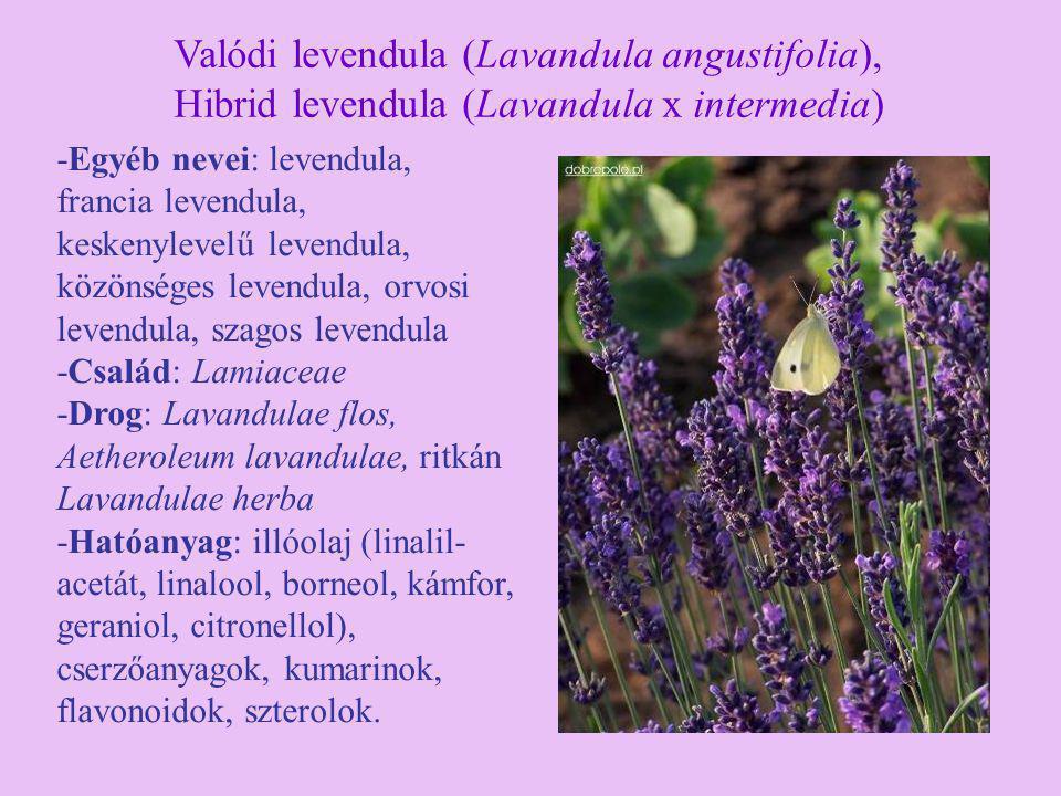 -Egyéb nevei: levendula, francia levendula, keskenylevelű levendula, közönséges levendula, orvosi levendula, szagos levendula -Család: Lamiaceae -Drog