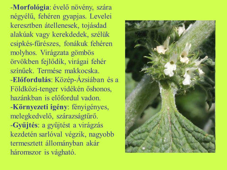 -Morfológia: évelő növény, szára négyélű, fehéren gyapjas. Levelei keresztben átellenesek, tojásdad alakúak vagy kerekdedek, szélük csipkés-fűrészes,