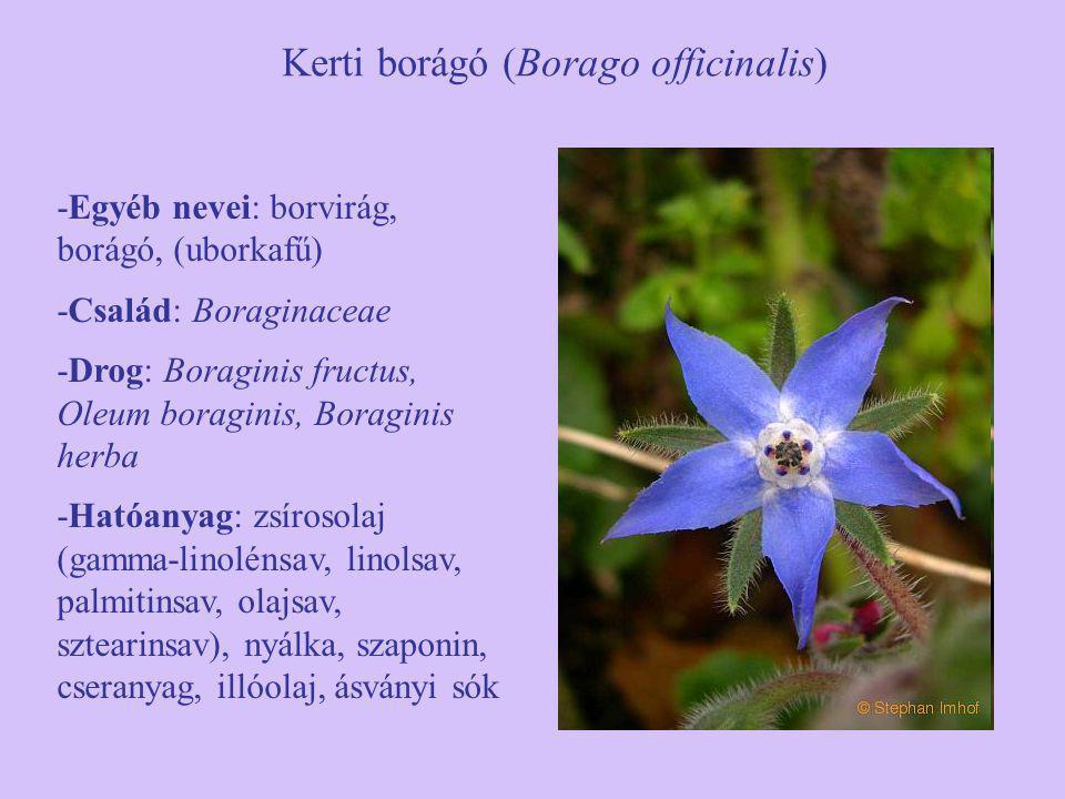 Kerti borágó (Borago officinalis) -Egyéb nevei: borvirág, borágó, (uborkafű) -Család: Boraginaceae -Drog: Boraginis fructus, Oleum boraginis, Boragini