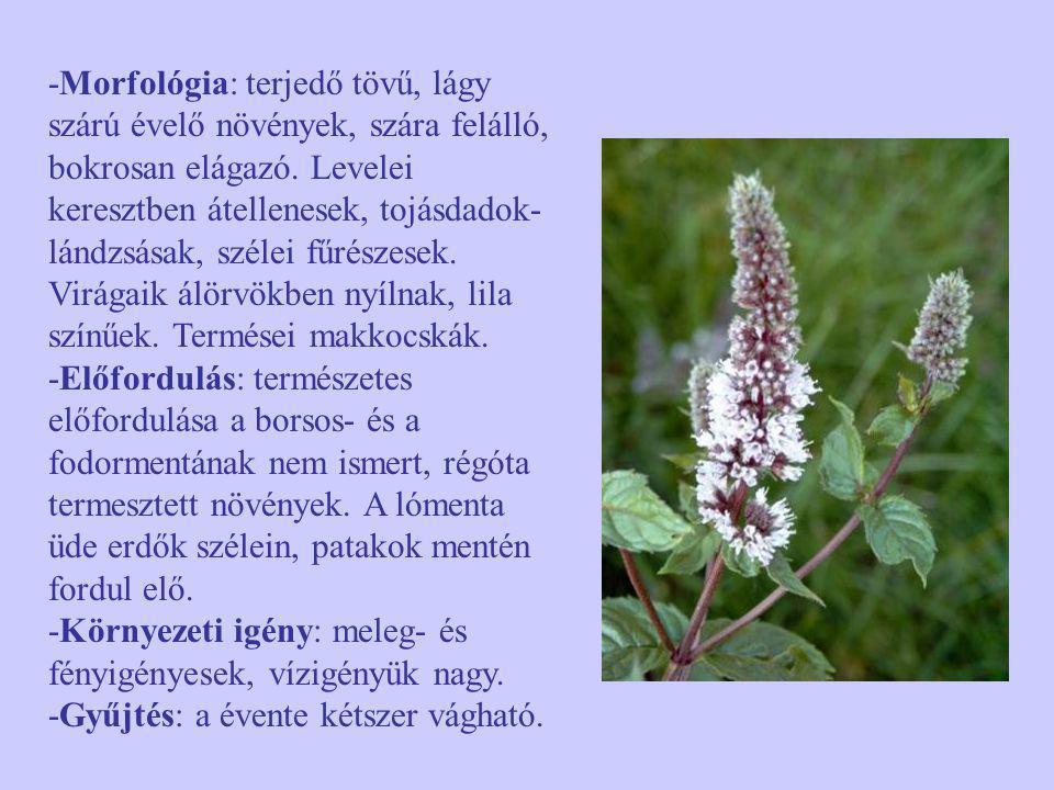 -Morfológia: terjedő tövű, lágy szárú évelő növények, szára felálló, bokrosan elágazó. Levelei keresztben átellenesek, tojásdadok- lándzsásak, szélei