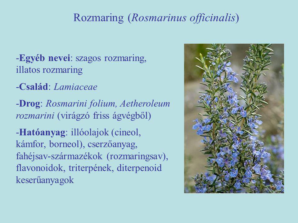 Rozmaring (Rosmarinus officinalis) -Egyéb nevei: szagos rozmaring, illatos rozmaring -Család: Lamiaceae -Drog: Rosmarini folium, Aetheroleum rozmarini