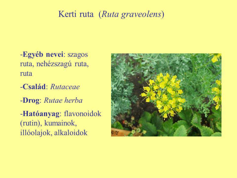 -Egyéb nevei: szagos ruta, nehézszagú ruta, ruta -Család: Rutaceae -Drog: Rutae herba -Hatóanyag: flavonoidok (rutin), kumainok, illóolajok, alkaloido