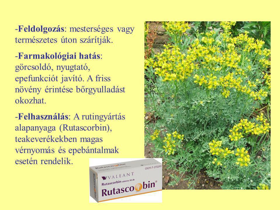 -Feldolgozás: mesterséges vagy természetes úton szárítják. -Farmakológiai hatás: görcsoldó, nyugtató, epefunkciót javító. A friss növény érintése bőrg