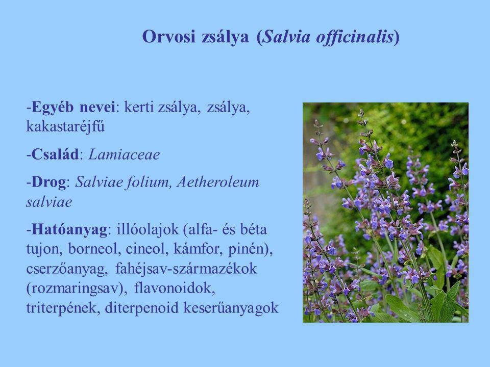 Orvosi zsálya (Salvia officinalis) -Egyéb nevei: kerti zsálya, zsálya, kakastaréjfű -Család: Lamiaceae -Drog: Salviae folium, Aetheroleum salviae -Hat