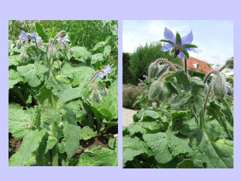 Rozmaring (Rosmarinus officinalis) -Egyéb nevei: szagos rozmaring, illatos rozmaring -Család: Lamiaceae -Drog: Rosmarini folium, Aetheroleum rozmarini (virágzó friss ágvégből) -Hatóanyag: illóolajok (cineol, kámfor, borneol), cserzőanyag, fahéjsav-származékok (rozmaringsav), flavonoidok, triterpének, diterpenoid keserűanyagok