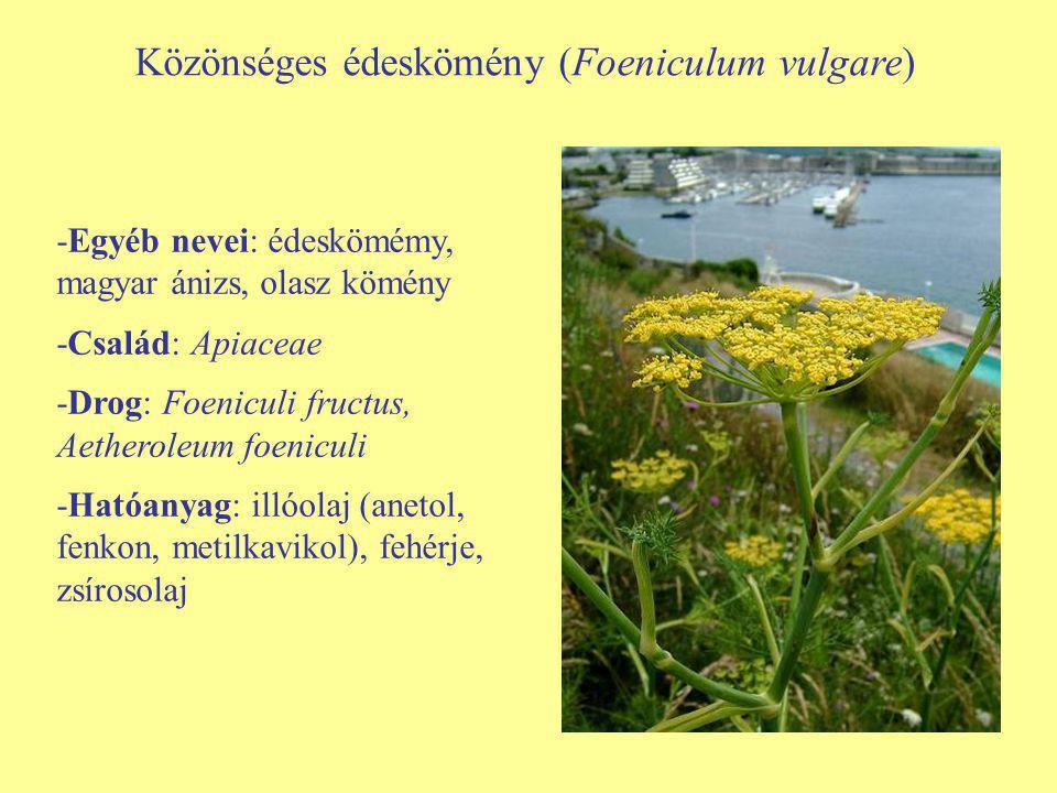 Közönséges édeskömény (Foeniculum vulgare) -Egyéb nevei: édeskömémy, magyar ánizs, olasz kömény -Család: Apiaceae -Drog: Foeniculi fructus, Aetheroleu