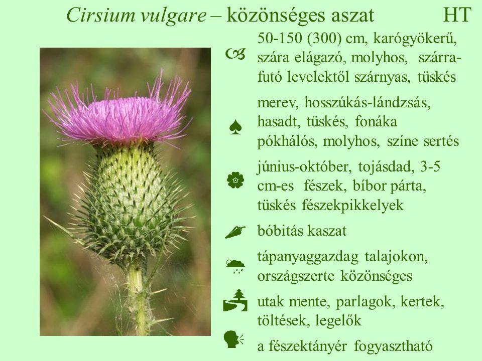 HT Cirsium vulgare – közönséges aszat  ♠     50-150 (300) cm, karógyökerű, szára elágazó, molyhos, szárra- futó levelektől szárnyas, tüskés merev
