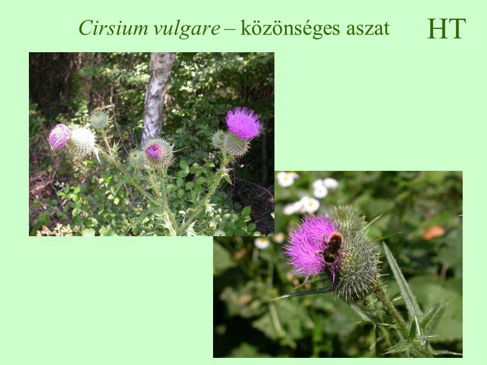 HT Cirsium vulgare – közönséges aszat