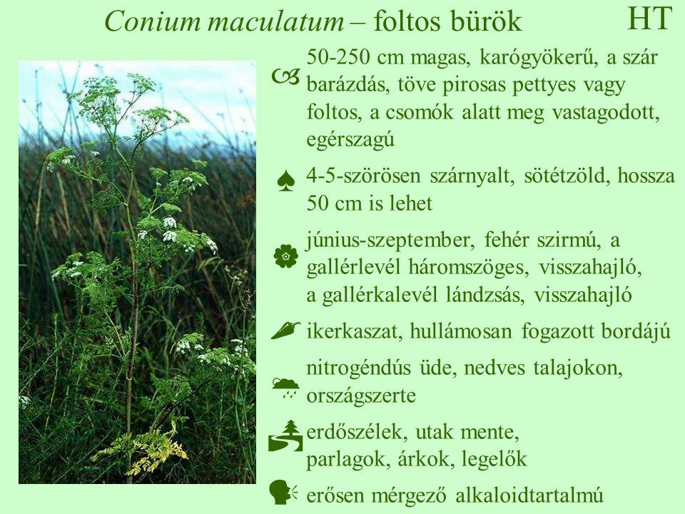 HT Conium maculatum – foltos bürök 50-250 cm magas, karógyökerű, a szár barázdás, töve pirosas pettyes vagy foltos, a csomók alatt meg vastagodott, egérszagú 4-5-szörösen szárnyalt, sötétzöld, hossza 50 cm is lehet június-szeptember, fehér szirmú, a gallérlevél háromszöges, visszahajló, a gallérkalevél lándzsás, visszahajló ikerkaszat, hullámosan fogazott bordájú nitrogéndús üde, nedves talajokon, országszerte erdőszélek, utak mente, parlagok, árkok, legelők erősen mérgező alkaloidtartalmú  ♠    