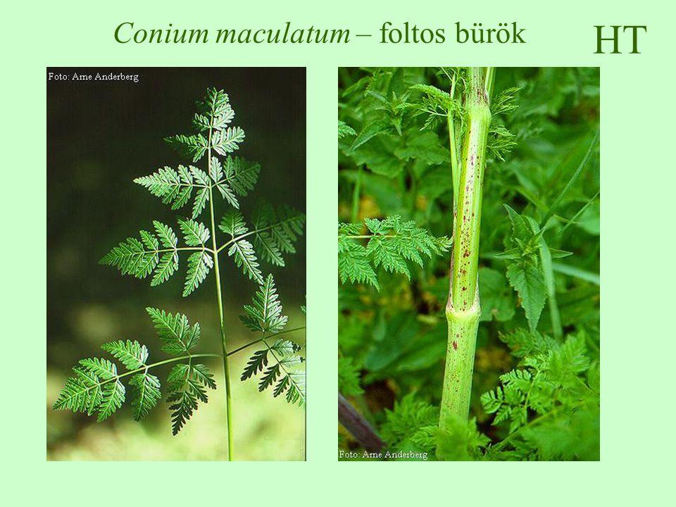 HT Conium maculatum – foltos bürök