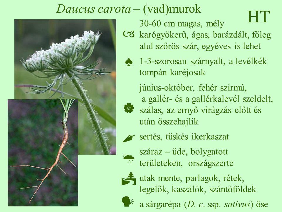 HT Daucus carota – (vad)murok 30-60 cm magas, mély karógyökerű, ágas, barázdált, főleg alul szőrös szár, egyéves is lehet 1-3-szorosan szárnyalt, a levélkék tompán karéjosak június-október, fehér szirmú, a gallér- és a gallérkalevél szeldelt, szálas, az ernyő virágzás előtt és után összehajlik sertés, tüskés ikerkaszat száraz – üde, bolygatott területeken, országszerte utak mente, parlagok, rétek, legelők, kaszálók, szántóföldek a sárgarépa (D.