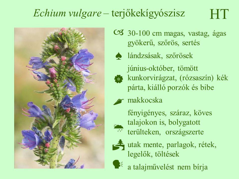 HT Echium vulgare – terjőkekígyószisz 30-100 cm magas, vastag, ágas gyökerű, szőrös, sertés lándzsásak, szőrösek június-október, tömött kunkorvirágzat, (rózsaszín) kék párta, kiálló porzók és bibe makkocska fényigényes, száraz, köves talajokon is, bolygatott terülteken, országszerte utak mente, parlagok, rétek, legelők, töltések a talajművelést nem bírja  ♠    