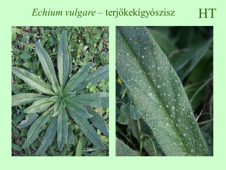 HT Echium vulgare – terjőkekígyószisz