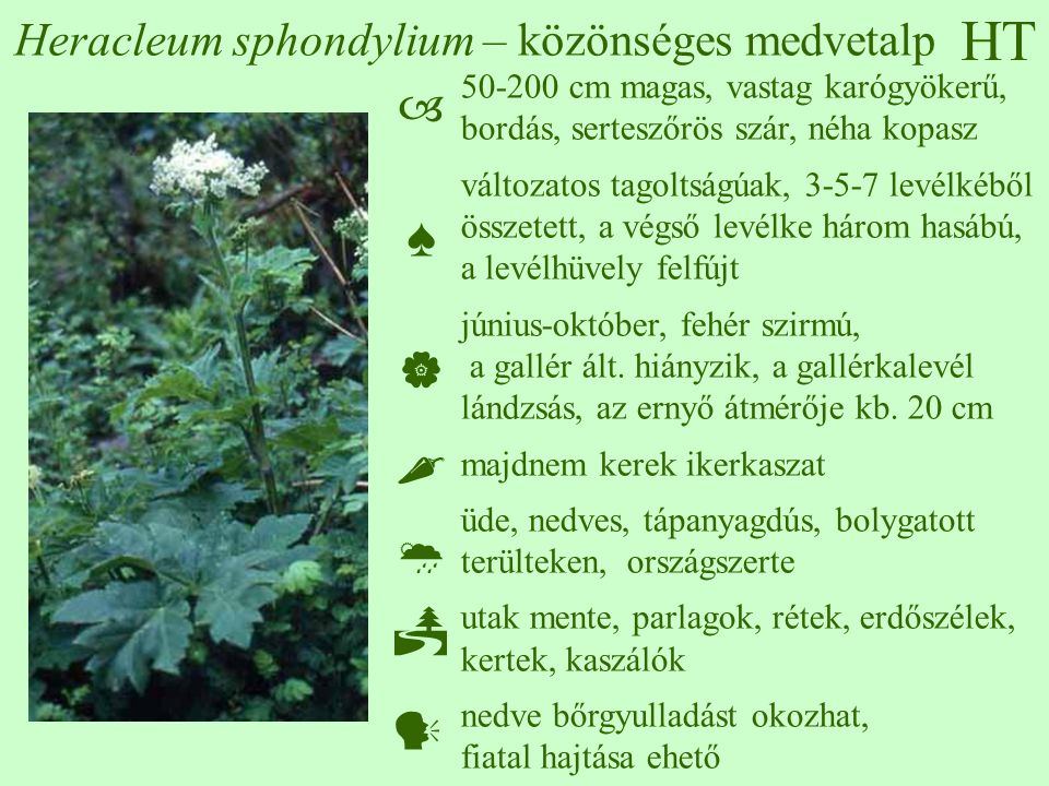HT Heracleum sphondylium – közönséges medvetalp 50-200 cm magas, vastag karógyökerű, bordás, serteszőrös szár, néha kopasz változatos tagoltságúak, 3-5-7 levélkéből összetett, a végső levélke három hasábú, a levélhüvely felfújt június-október, fehér szirmú, a gallér ált.