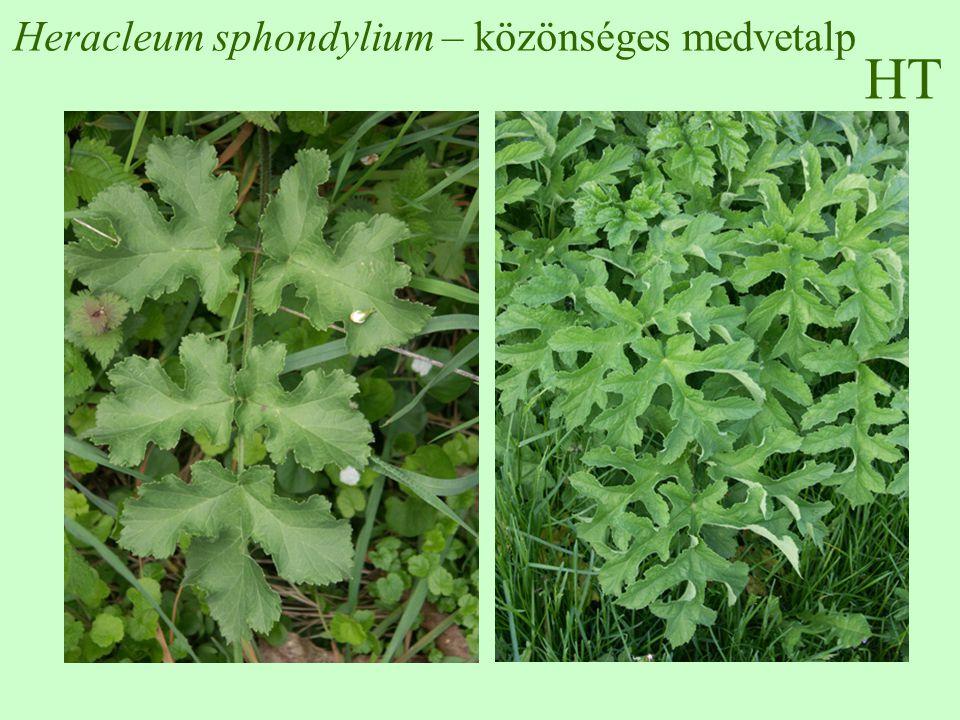 HT Heracleum sphondylium – közönséges medvetalp