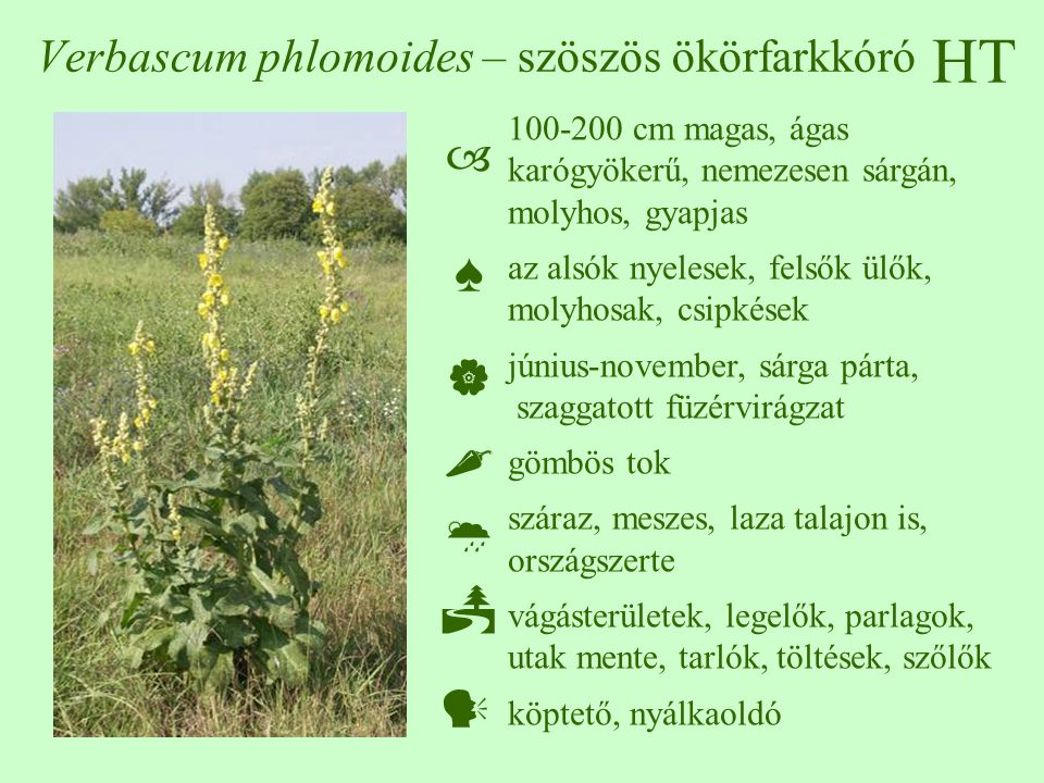 HT Verbascum phlomoides – szöszös ökörfarkkóró 100-200 cm magas, ágas karógyökerű, nemezesen sárgán, molyhos, gyapjas az alsók nyelesek, felsők ülők, molyhosak, csipkések június-november, sárga párta, szaggatott füzérvirágzat gömbös tok száraz, meszes, laza talajon is, országszerte vágásterületek, legelők, parlagok, utak mente, tarlók, töltések, szőlők köptető, nyálkaoldó  ♠    
