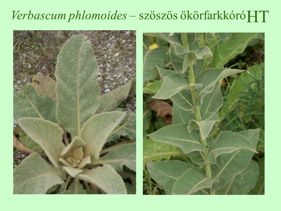 HT Verbascum phlomoides – szöszös ökörfarkkóró
