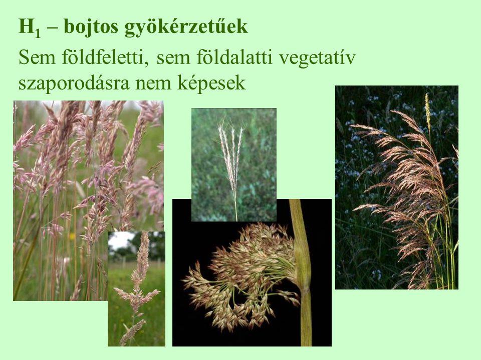 H 1 – bojtos gyökérzetűek Sem földfeletti, sem földalatti vegetatív szaporodásra nem képesek
