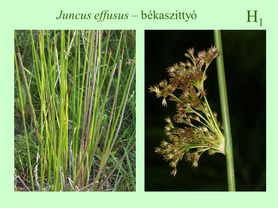 H1H1 Juncus effusus – békaszittyó