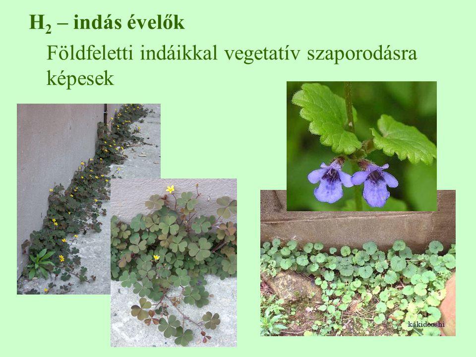 H 2 – indás évelők Földfeletti indáikkal vegetatív szaporodásra képesek
