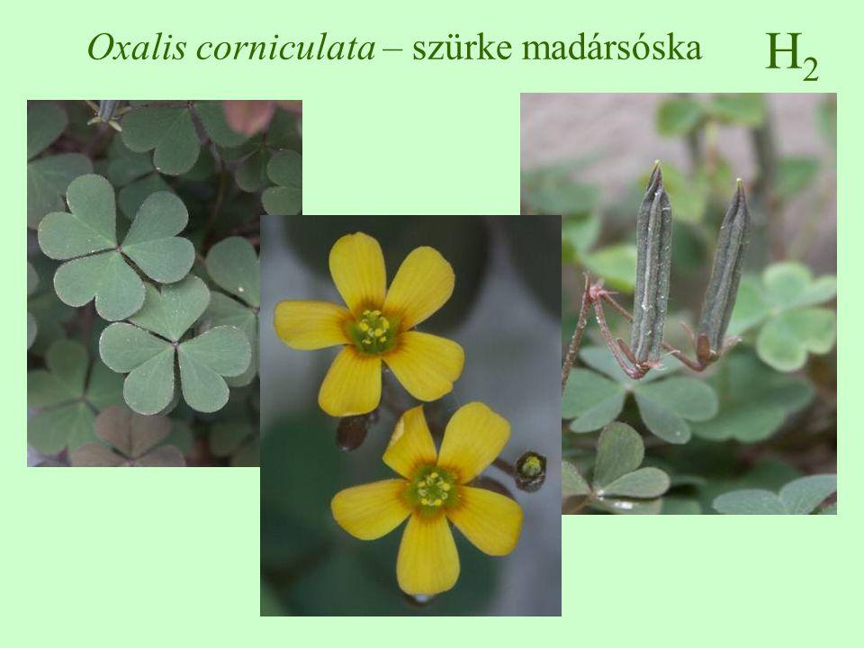 H2H2 Oxalis corniculata – szürke madársóska