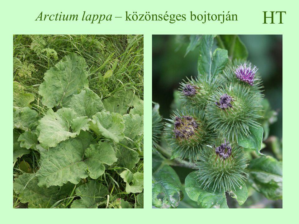 HT Arctium lappa – közönséges bojtorján
