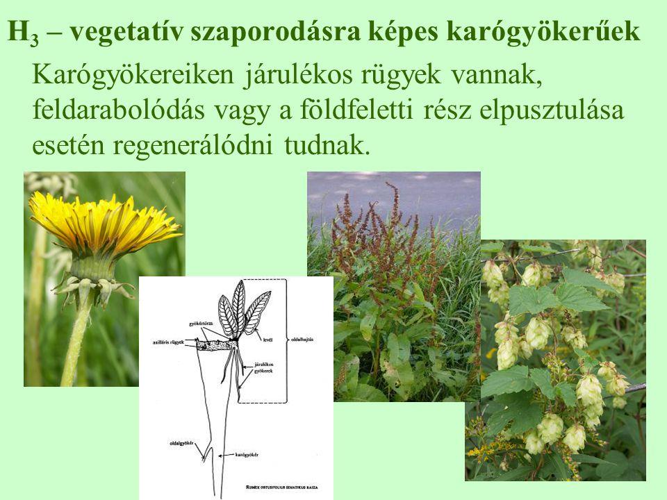 H 3 – vegetatív szaporodásra képes karógyökerűek Karógyökereiken járulékos rügyek vannak, feldarabolódás vagy a földfeletti rész elpusztulása esetén regenerálódni tudnak.