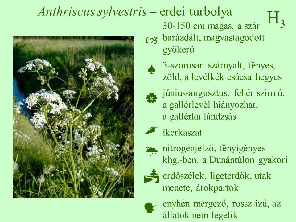 H3H3 Anthriscus sylvestris – erdei turbolya 30-150 cm magas, a szár barázdált, magvastagodott gyökerű 3-szorosan szárnyalt, fényes, zöld, a levélkék csúcsa hegyes június-augusztus, fehér szirmú, a gallérlevél hiányozhat, a gallérka lándzsás ikerkaszat nitrogénjelző, fényigényes khg.-ben, a Dunántúlon gyakori erdőszélek, ligeterdők, utak menete, árokpartok enyhén mérgező, rossz ízű, az állatok nem legelik  ♠    