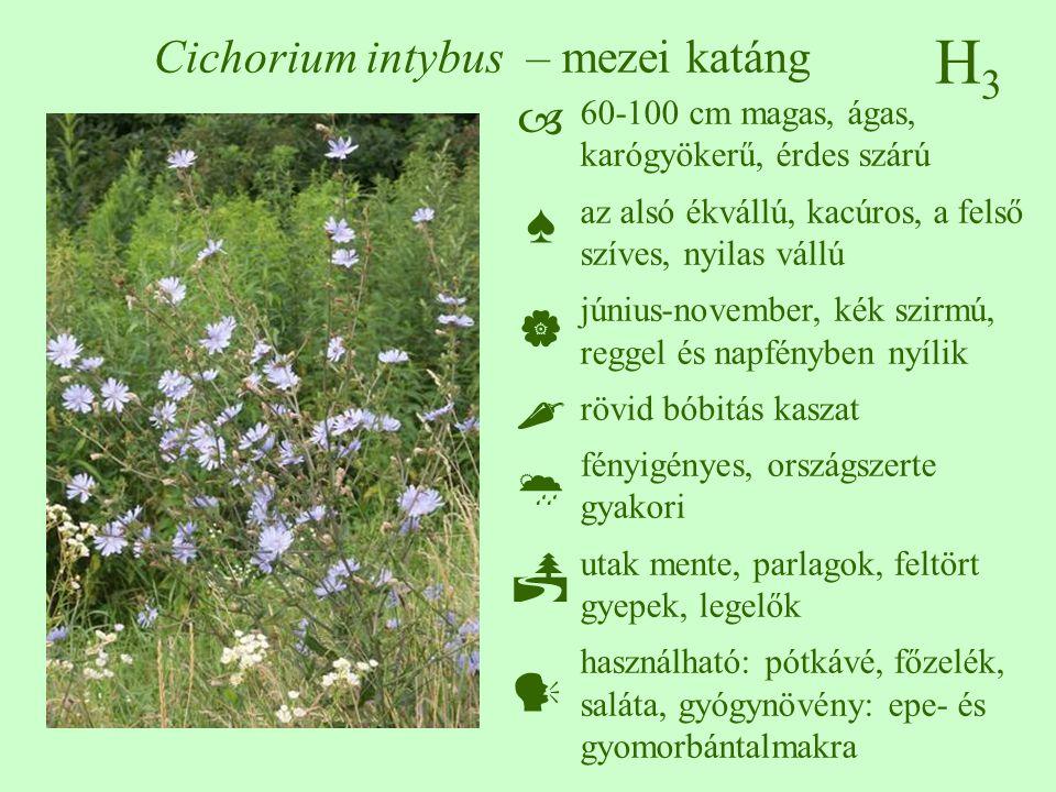 H3H3 Cichorium intybus – mezei katáng 60-100 cm magas, ágas, karógyökerű, érdes szárú az alsó ékvállú, kacúros, a felső szíves, nyilas vállú június-no