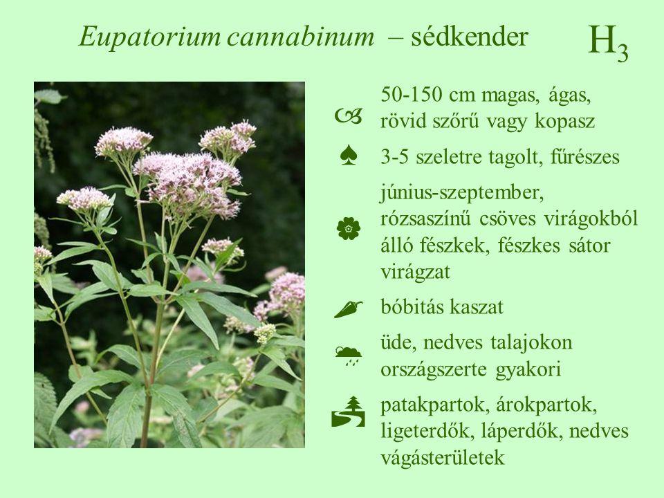 H3H3 Eupatorium cannabinum – sédkender 50-150 cm magas, ágas, rövid szőrű vagy kopasz 3-5 szeletre tagolt, fűrészes június-szeptember, rózsaszínű csöves virágokból álló fészkek, fészkes sátor virágzat bóbitás kaszat üde, nedves talajokon országszerte gyakori patakpartok, árokpartok, ligeterdők, láperdők, nedves vágásterületek ♠♠