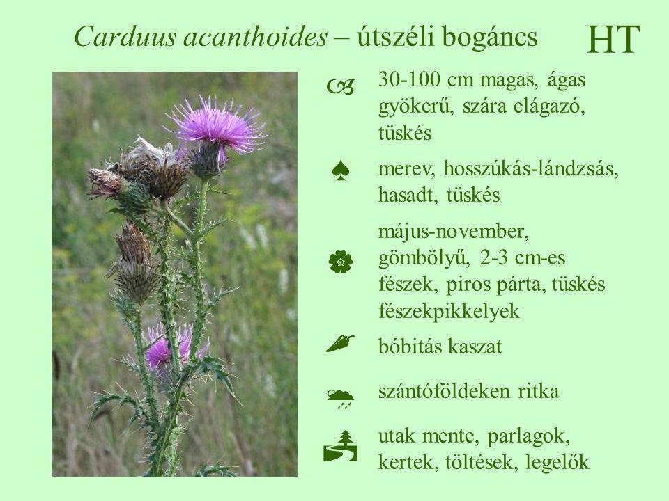 HT Carduus acanthoides – útszéli bogáncs 30-100 cm magas, ágas gyökerű, szára elágazó, tüskés merev, hosszúkás-lándzsás, hasadt, tüskés május-november, gömbölyű, 2-3 cm-es fészek, piros párta, tüskés fészekpikkelyek bóbitás kaszat szántóföldeken ritka utak mente, parlagok, kertek, töltések, legelők ♠♠