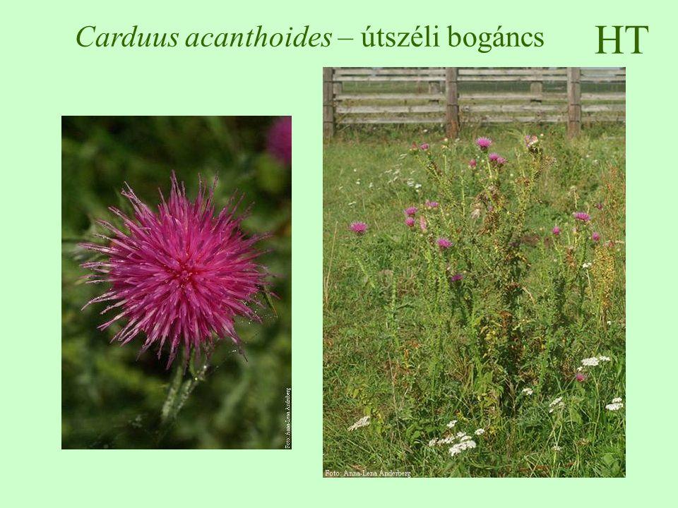 HT Carduus acanthoides – útszéli bogáncs