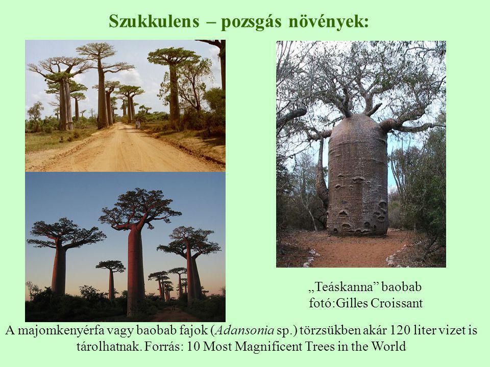 A majomkenyérfa vagy baobab fajok (Adansonia sp.) törzsükben akár 120 liter vizet is tárolhatnak. Forrás: 10 Most Magnificent Trees in the World Szukk