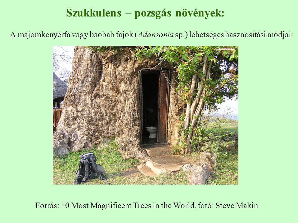 Forrás: 10 Most Magnificent Trees in the World, fotó: Steve Makin Szukkulens – pozsgás növények: A majomkenyérfa vagy baobab fajok (Adansonia sp.) leh
