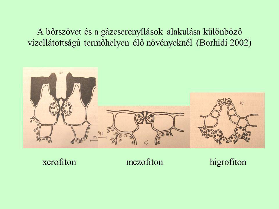 A bőrszövet és a gázcserenyílások alakulása különböző vízellátottságú termőhelyen élő növényeknél (Borhidi 2002) xerofitonmezofitonhigrofiton
