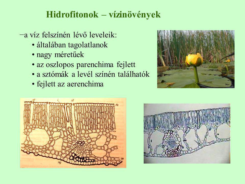 −a víz felszínén lévő leveleik: általában tagolatlanok nagy méretűek az oszlopos parenchima fejlett a sztómák a levél színén találhatók fejlett az aer