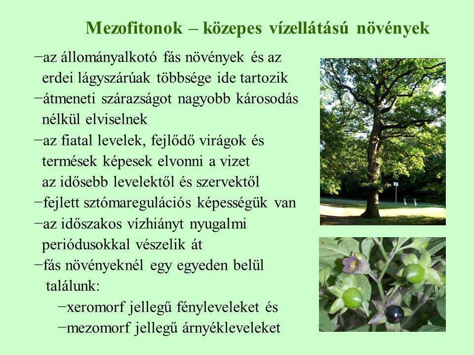 Mezofitonok – közepes vízellátású növények −az állományalkotó fás növények és az erdei lágyszárúak többsége ide tartozik −átmeneti szárazságot nagyobb