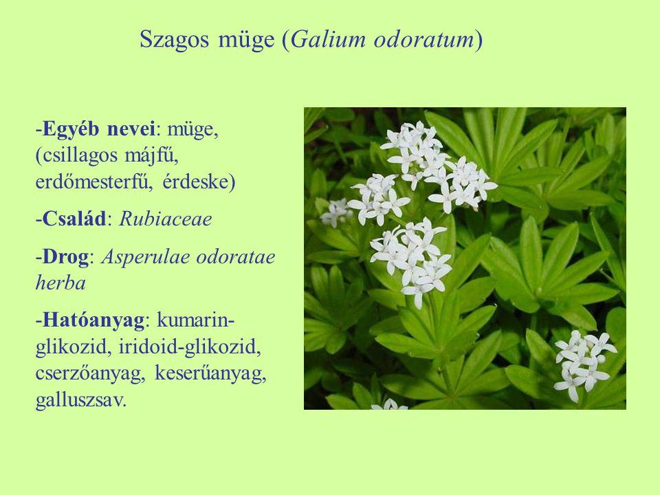 Szagos müge (Galium odoratum) -Egyéb nevei: müge, (csillagos májfű, erdőmesterfű, érdeske) -Család: Rubiaceae -Drog: Asperulae odoratae herba -Hatóanyag: kumarin- glikozid, iridoid-glikozid, cserzőanyag, keserűanyag, galluszsav.