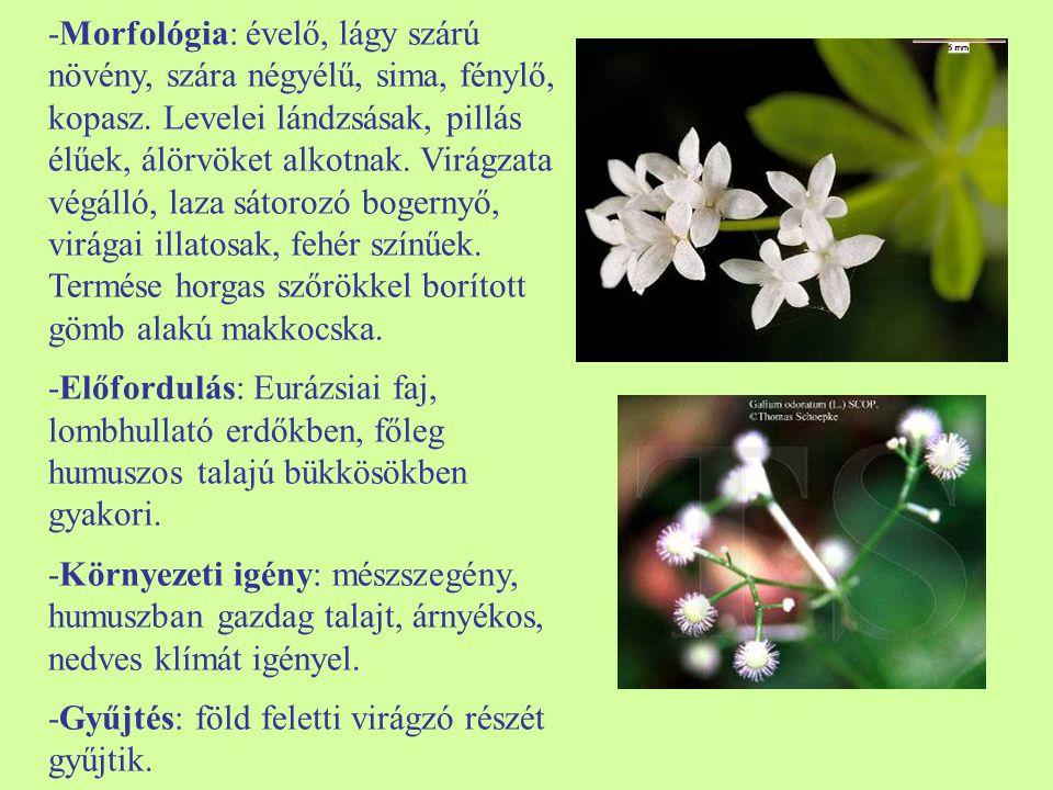 -Morfológia: évelő, lágy szárú növény, szára négyélű, sima, fénylő, kopasz.