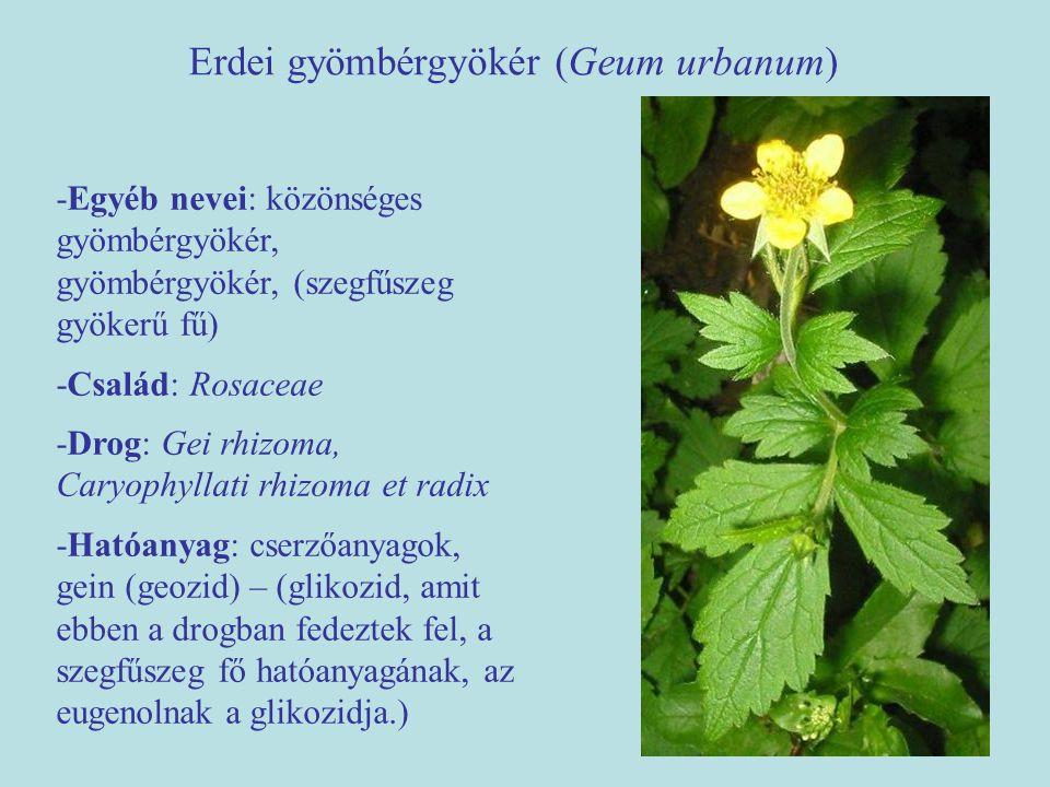 Erdei gyömbérgyökér (Geum urbanum) -Egyéb nevei: közönséges gyömbérgyökér, gyömbérgyökér, (szegfűszeg gyökerű fű) -Család: Rosaceae -Drog: Gei rhizoma, Caryophyllati rhizoma et radix -Hatóanyag: cserzőanyagok, gein (geozid) – (glikozid, amit ebben a drogban fedeztek fel, a szegfűszeg fő hatóanyagának, az eugenolnak a glikozidja.)