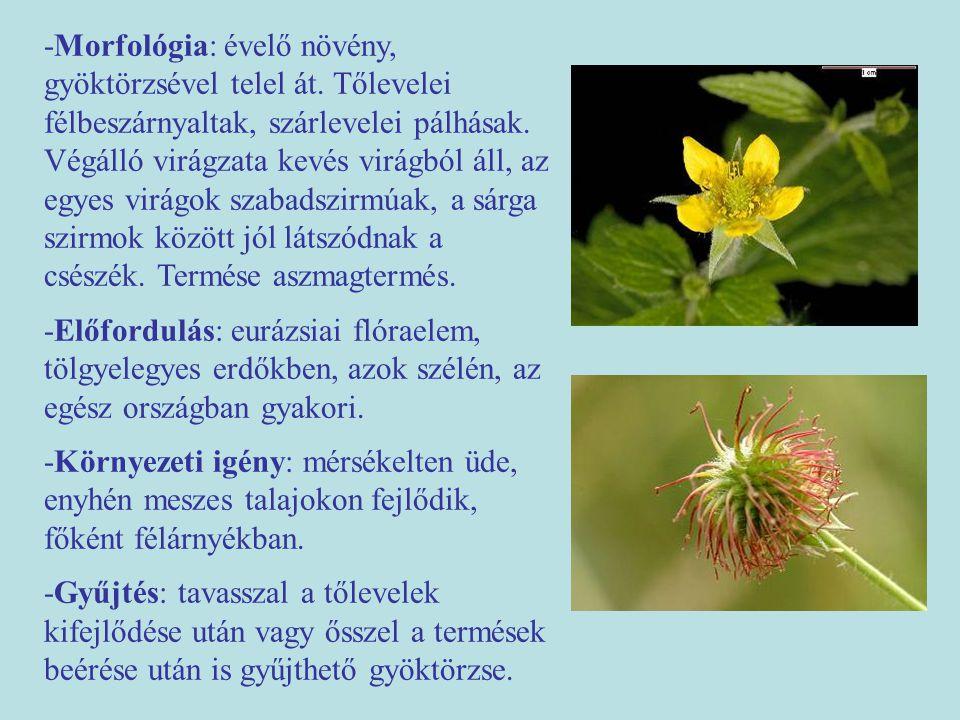 -Morfológia: évelő növény, gyöktörzsével telel át.