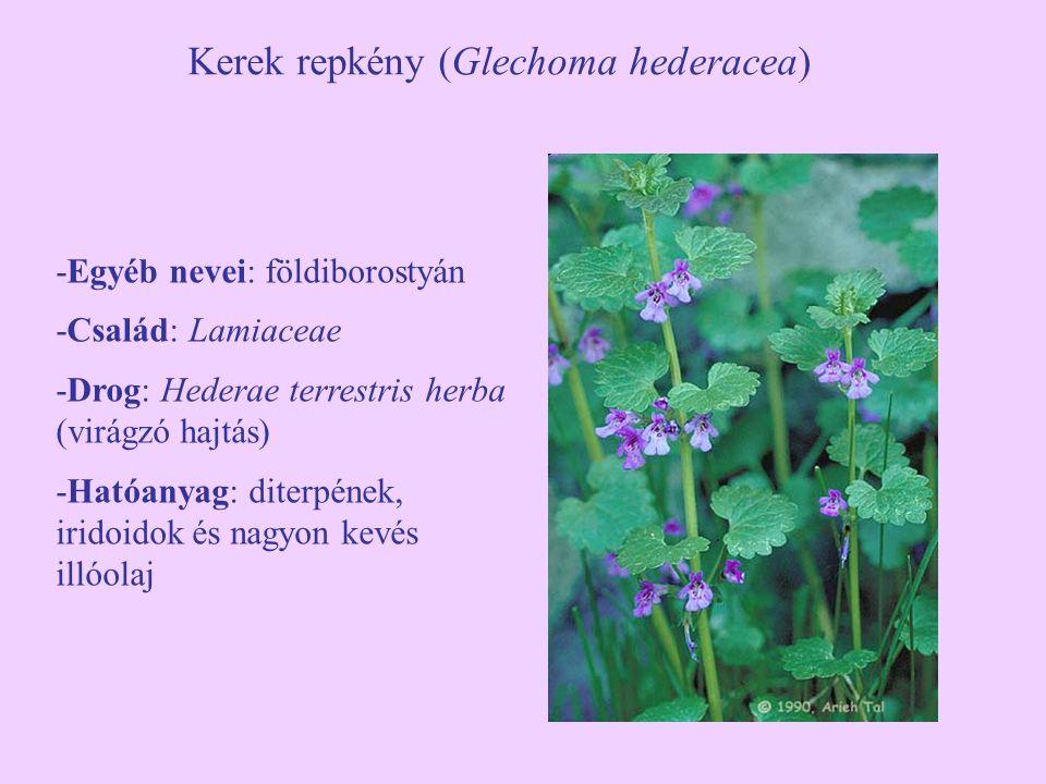 Kerek repkény (Glechoma hederacea) -Egyéb nevei: földiborostyán -Család: Lamiaceae -Drog: Hederae terrestris herba (virágzó hajtás) -Hatóanyag: diterpének, iridoidok és nagyon kevés illóolaj